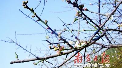 萝岗香雪公园内梅树枝头上挂满了含苞欲放的粉红色花骨朵.