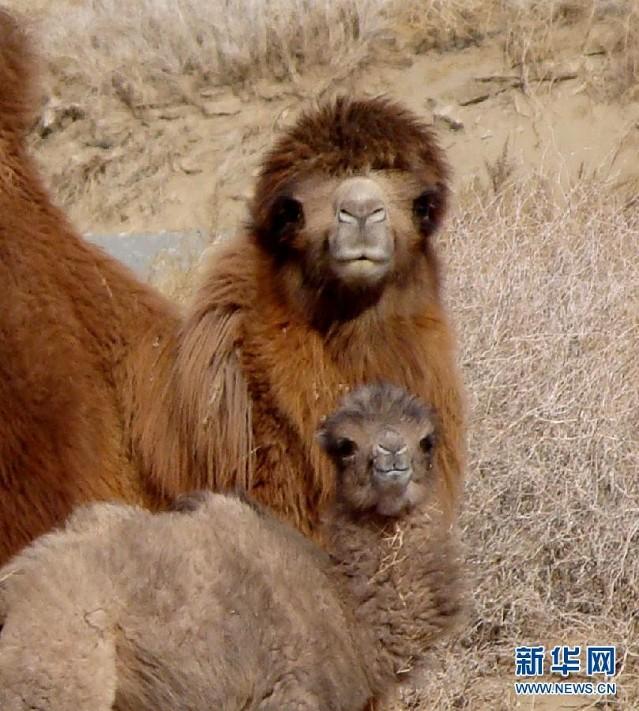 实拍可爱的野骆驼宝宝(组图)