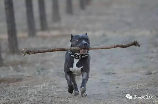 【宠物频道恶霸在线】美国恶霸犬健康散步基本要点图片