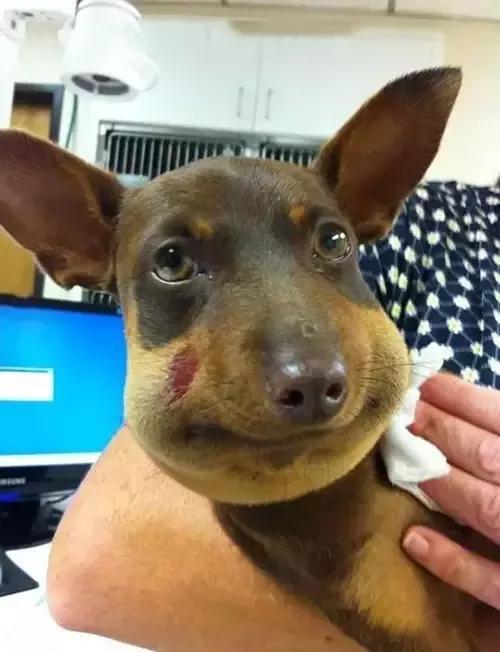 泰国一只金毛不下载被蜜蜂叮了,整个脸肿得跟面包一样,眼睛被挤的蝙蝠侠zip小心图片